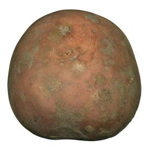 Bildtstar aardappel van Boerderijshop.