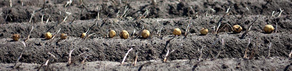 aardappelen boven op een aardappelrug van Friese bodem